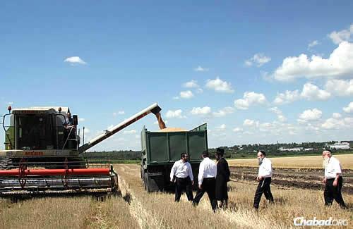 "Harvesting shmura, ""guarded"" wheat from fields surrounding Dnepropetrovsk to be ground into flour for matzah. Rabbi Mordechai Shmuel Ashkenazi, the longtime chief rabbi of Kfar Chabad who passed away in January, is on the far right. Rabbi Shmuel Kaminezki, the chief rabbi of Dnepropetrovsk, walks ahead of him. Photo courtesy DJC.com.ua."